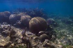 Brain Coral sulcado fotografia de stock royalty free
