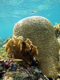 Brain coral and surface Royalty Free Stock Image