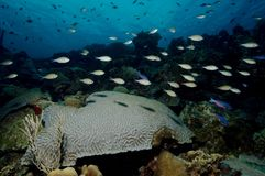 Brain coral and tropical fishes on coral reef in the Caribbean royalty free stock images