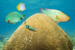 Brain coral underwater with colorful fish Stock Image