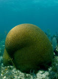 Brain coral underwater Stock Photography