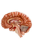 Brain. Detailed drawings of the human brain Stock Photos