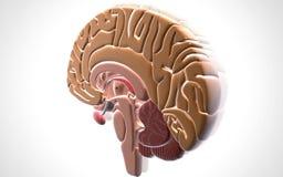 Brain. Digital illustration of brain in colour background royalty free illustration