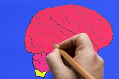 The brain is drawn on paper with a pencil. stock images