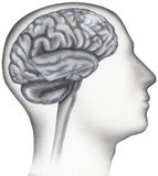 Brain - Dyslexia, Areas Involved Highlighted. The brain activity of dyslexic patients differs in certain areas as compared to normal subjects: The superior gyrus vector illustration