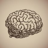 Brain engraving. Human body. Illustration in sketch style. EPS 10 Stock Photography