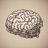 Brain engraving. Pink human body. Illustration in sketch style. EPS 10 Stock Photos