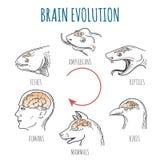 Brain Evolution illustration stock illustration