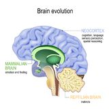 Brain evolution. Triune brain: Reptilian complex, mammalian brain and Neocortex. Brain evolution. Triune brain: Reptilian complex basal ganglia for instinctual royalty free illustration