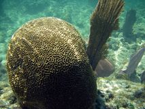 Brain and Fan Coral in Barrier Reef Stock Photos