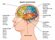 Brain functions chart. Chart vector illustration of a human head in profile showing the functions of the brain, isolated on a white background stock illustration