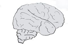 Brain on a gray scale monochrome color on a white background. Brain royalty free stock photos