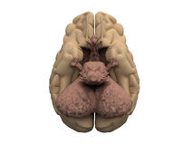 Brain hemispheres, cerebellum, hypothalamus. Bottom view of human brain - main organ of the central nervous system. 3D medical illustration Stock Photography
