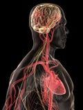 brain human Стоковые Фото