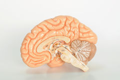 Brain human anatomy Stock Photo
