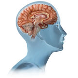 Brain. The Human Body - Brain illustration stock illustration
