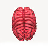 Brain Royalty Free Stock Images