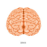 Brain, Human Internal Organ Diagram Stock Images