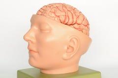 Brain of human model Royalty Free Stock Image