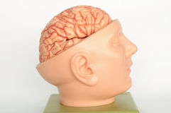 Brain of human model Royalty Free Stock Photos