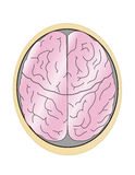 Brain. The human and brain on white background Royalty Free Stock Photography