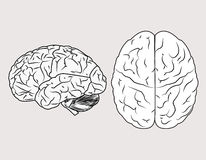 Brain. The human and brain on white background Royalty Free Stock Images