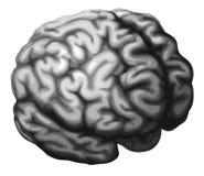 Brain illustration Royalty Free Stock Image