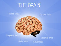 The brain Stock Images