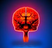 Brain - Internal organs Stock Photo