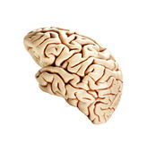 Brain isolated on white stock photos