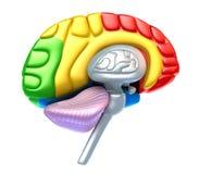 Brain lobe and cerebellum Royalty Free Stock Photos