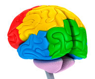 Brain lobes in different colors. Royalty Free Stock Images