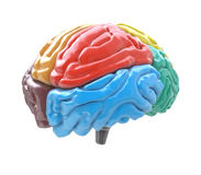 Brain lobes in different colors  on white background Royalty Free Stock Images