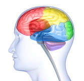 Brain lobes in head silhouette Stock Images