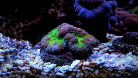 Brain LPS Coral, Lobophyllia hemprichii. Lobophyllia Brain Coral is a large polyp stony LPS coral often referred to as a Lobed, Colored, Carpet, Flat, or Open royalty free stock photography