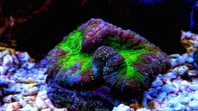 Brain LPS Coral, Lobophyllia hemprichii. Lobophyllia Brain Coral is a large polyp stony LPS coral often referred to as a Lobed, Colored, Carpet, Flat, or Open stock photos
