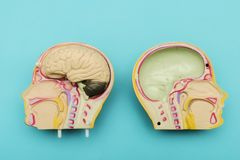 The brain is made of plastic.To use in education. stock image