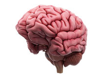 The brain. Medically accurate illustration of the brain stock illustration