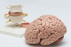 Brain model and lumbar spine model on white background. Artificial human brain model and lumbar spine model on white background in medical office stock photography