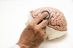 Brain model and stethoscope on white background. Human brain model and doctor`s hand with stethoscope on white background royalty free stock photography
