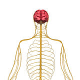 Brain and nervous system Stock Photo