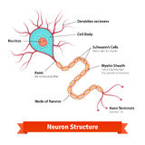 Brain neuron cell diagram Royalty Free Stock Photos