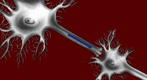 Brain - Neurons. Neurons are nerve cells that transmit nerve signalsaround the brain. The neuron consists of a cell body or soma with branching dendrites signal Stock Photography