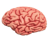 Brain Over White Photo stock