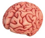 Brain Over White imagem de stock royalty free