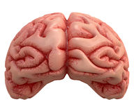 Brain Over White. Human brain on white background with clipping path included Royalty Free Stock Photography