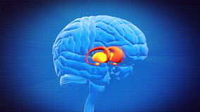 Brain part - BASAL GANGLIA Stock Images