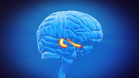 Brain part - HIPPOCAMPUS Stock Photography