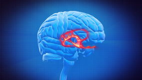 Brain part - LIMBIC SYSTEM Stock Photography