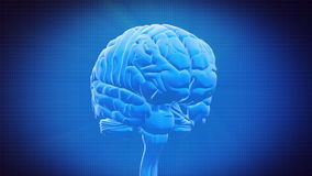 Brain part - THALAMUS vector illustration